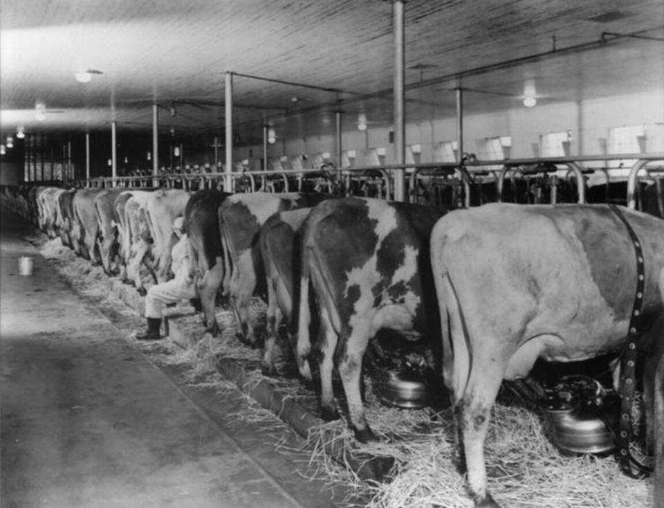 Alpenrose Dairy Cows